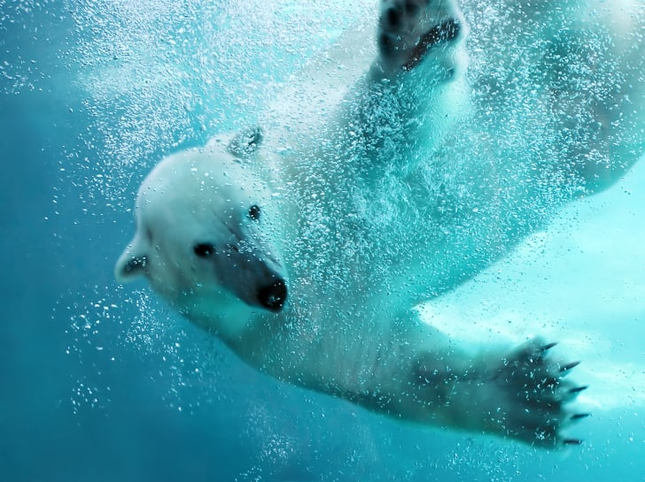 A polar bear swipes its paws in the water.