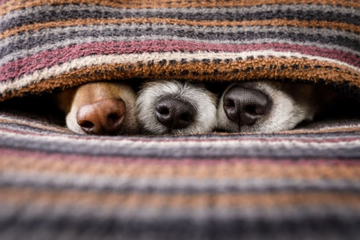 Three dog noses stick out from a gap in a colorful knit blanket.