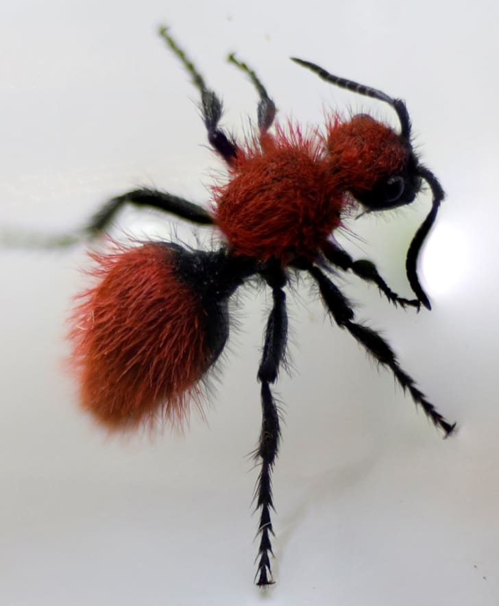 A photograph of a velvet ant