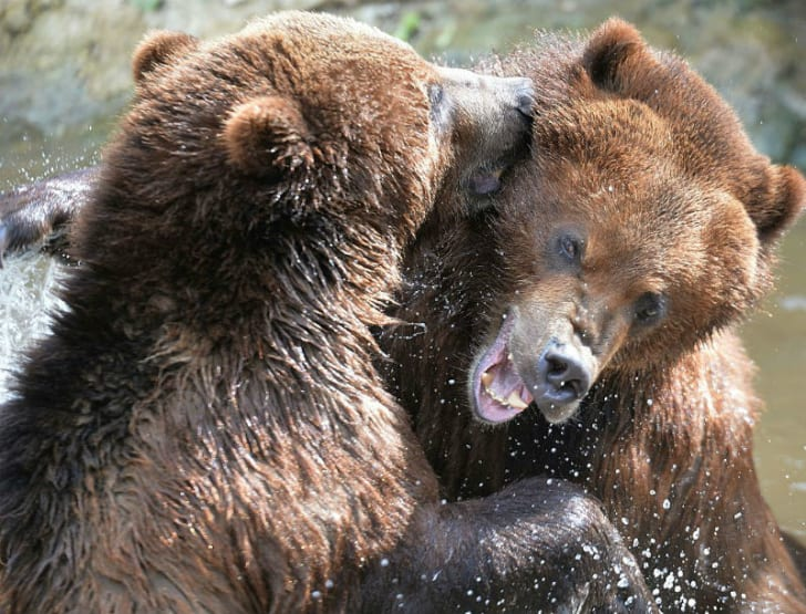 A pair of grizzly bears