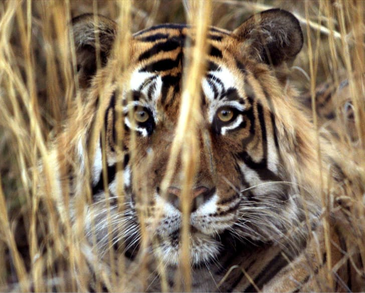 Tiger looking out from tall grass.