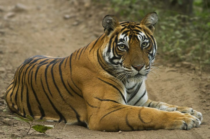 Tiger laying on dirt path.