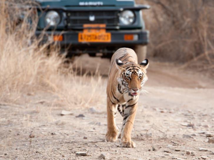 Tiger walking behind car.