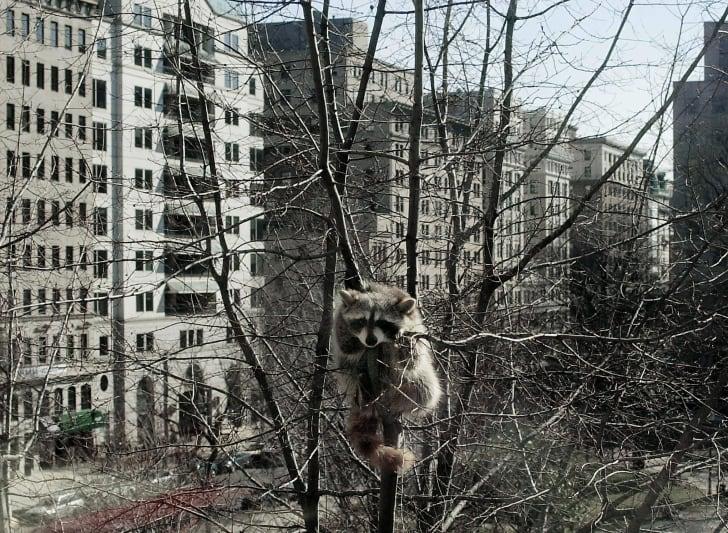 Raccoon in a tree in a city.