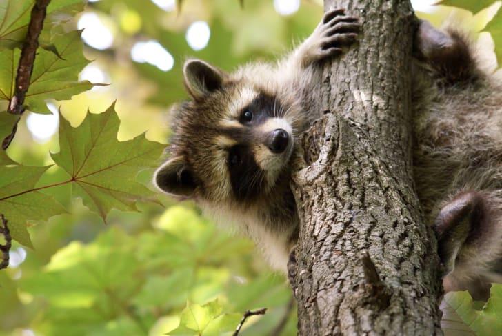 Raccoon on tree.
