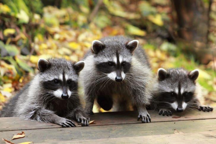 Three raccoons outdoors.