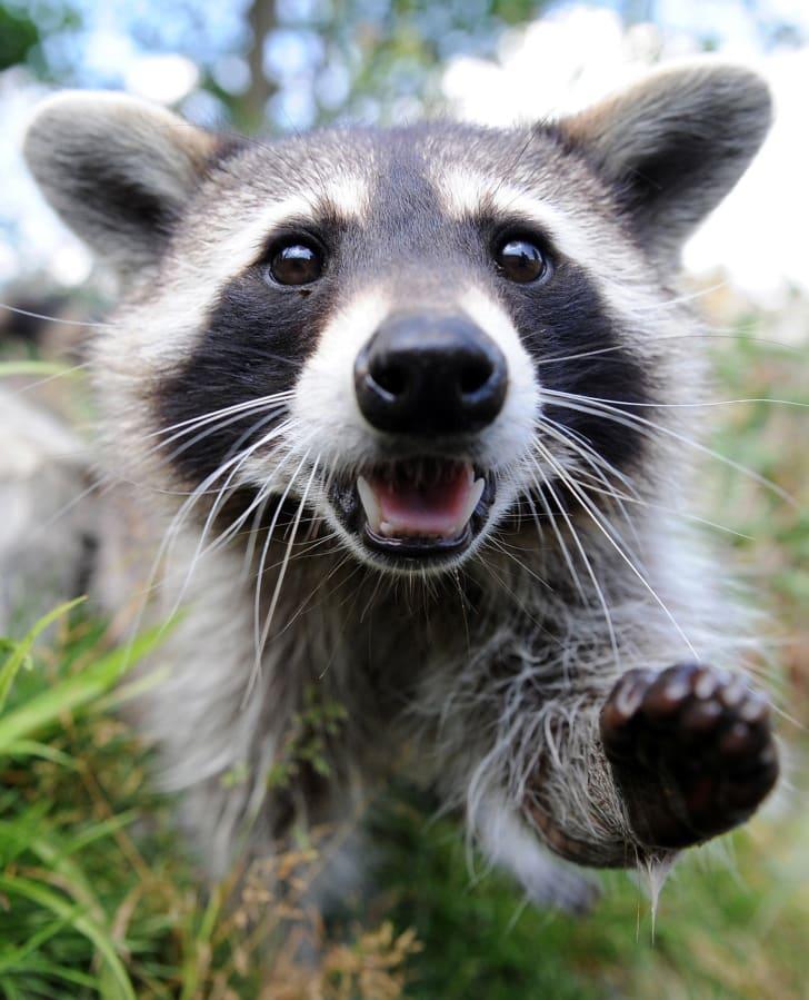 Raccoon reaching toward the camera.