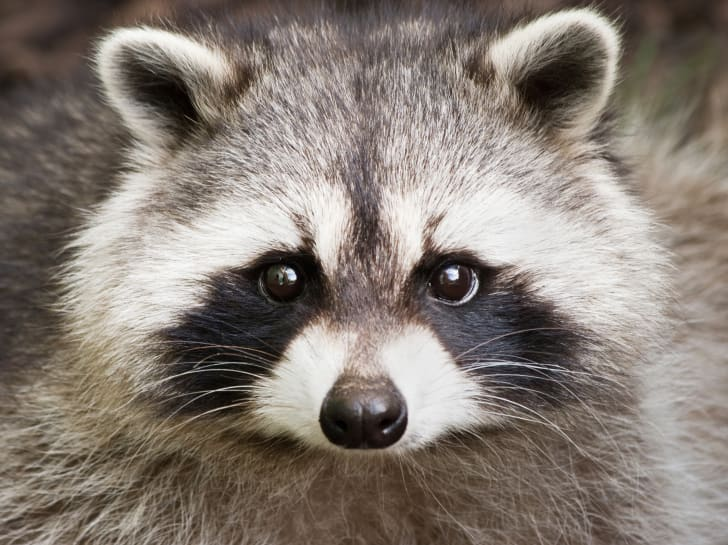 Raccoon face up close.