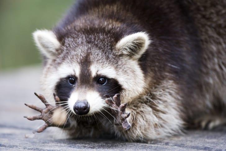 Raccoon displaying hands.