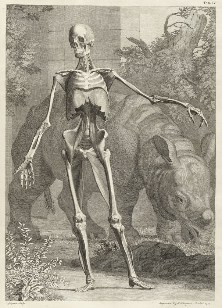 A print of Clara the rhinoceros and a skeleton by Jan Wandelaar for Albinus's atlas