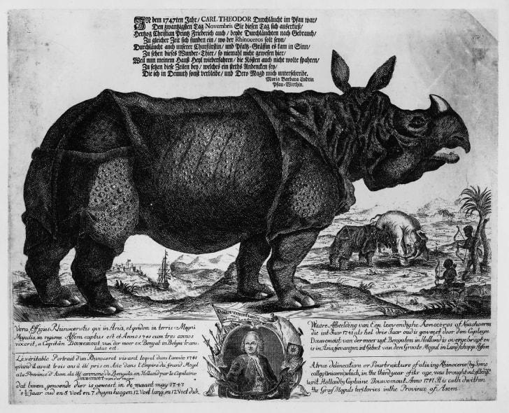 A 1747 etching of Clara the rhinoceros