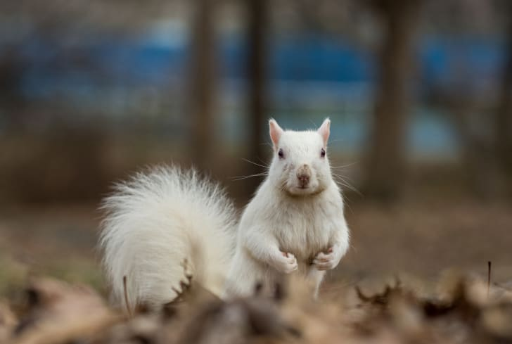 A white squirrel in Olney, Illinois stands on its hind legs.