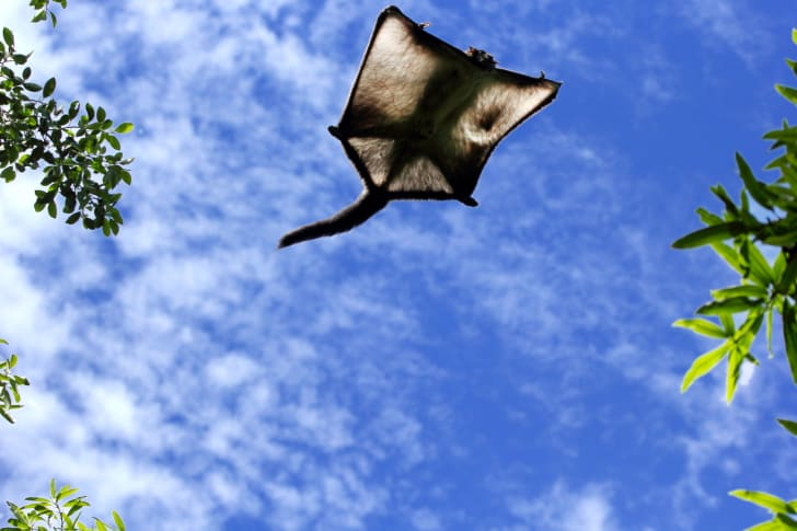 A flying squirrel soars through the air