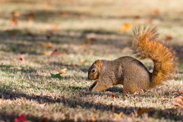 A squirrel digs in a grassy field filled with fallen leaves.