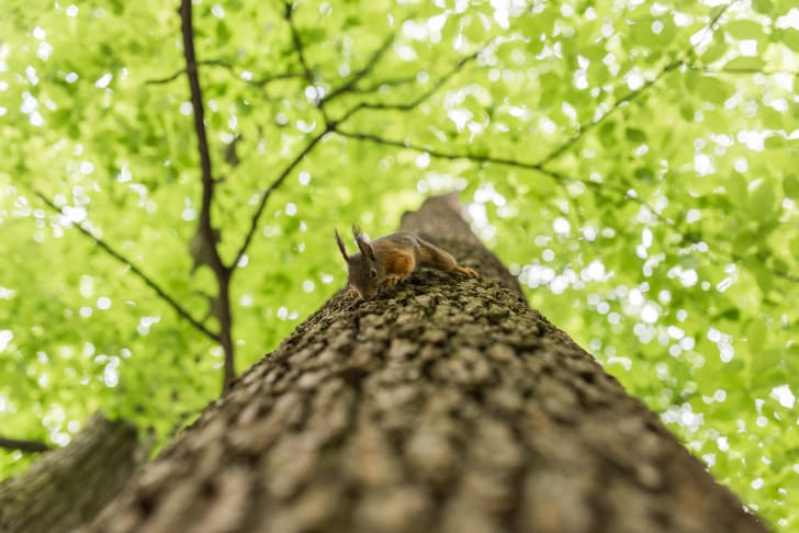 Looking up a tree trunk at a squirrel climbing down