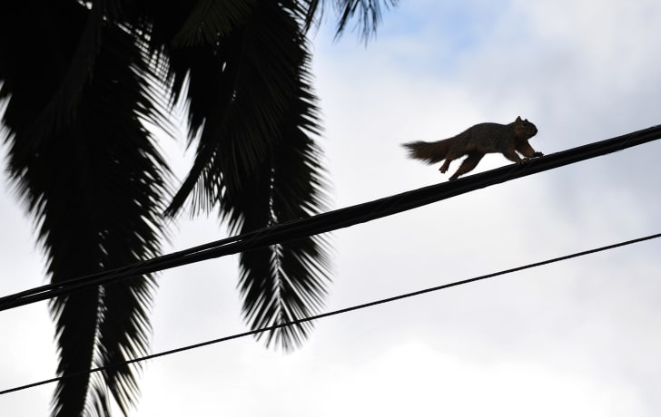 A squirrel runs across a power line.