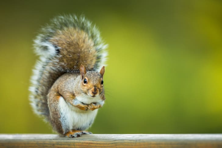 A squirrel with a bushy tail stands on its hind legs.