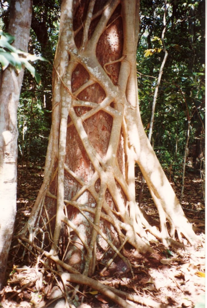 A tree trunk with a natural, strange white lattice over it.