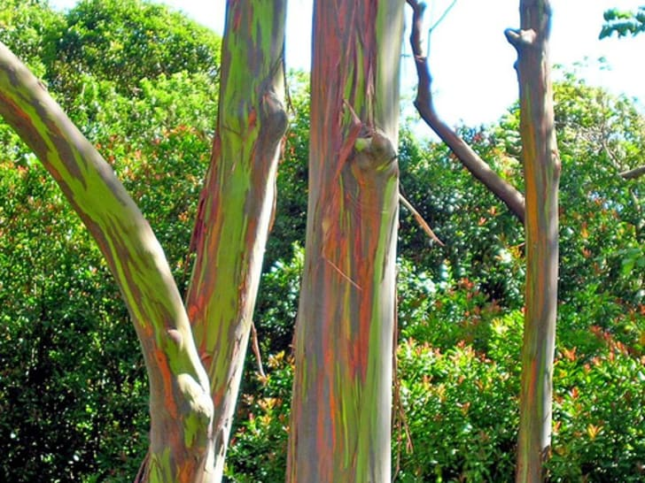 Skinny tree trunks with brightly colored streaks running down the bark.