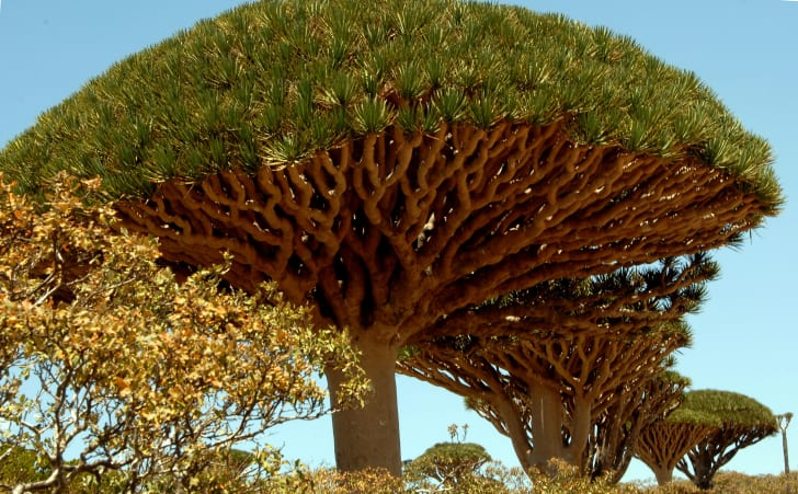 A large, mushroom-cloud shaped tree with reddish, vein-like branches.