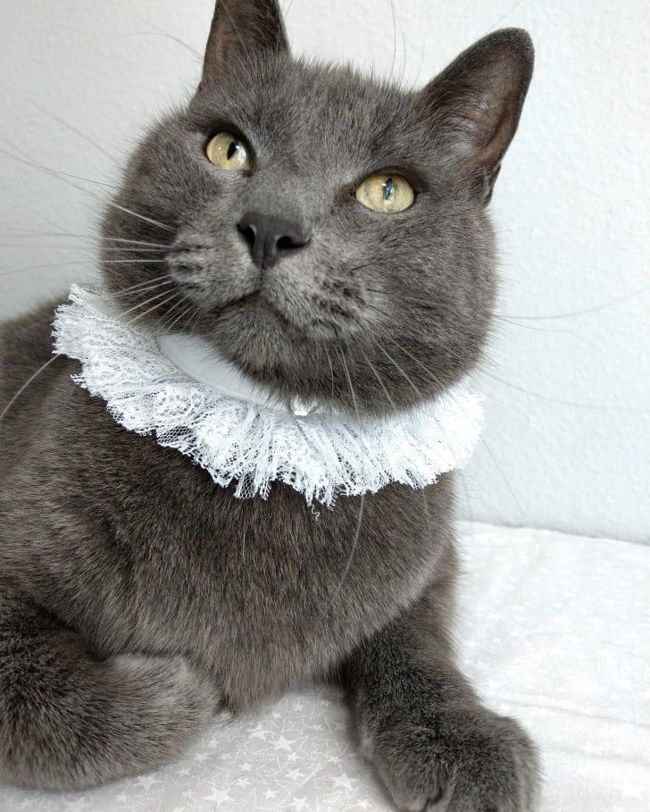 cat in lace collar
