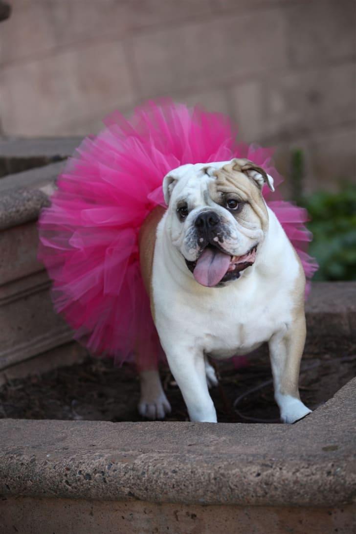 Dog in hot pink tutu