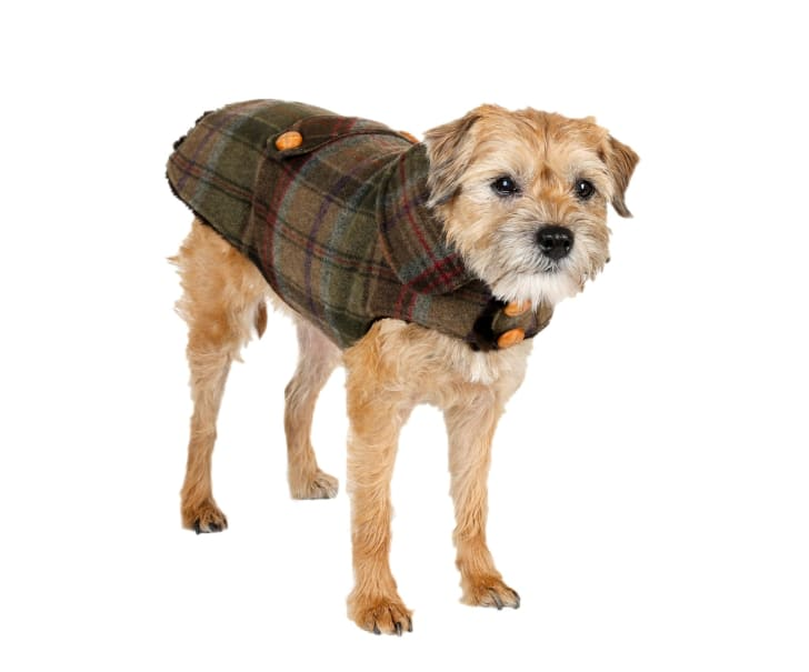 dog in plaid coat