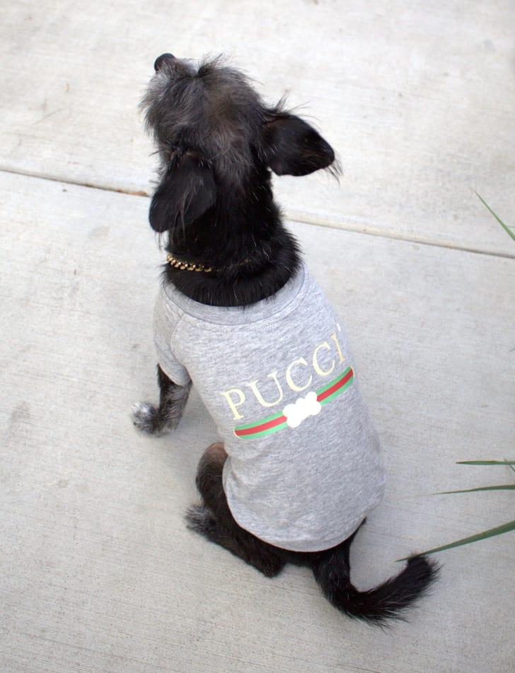 dog in Pucci dog shirt