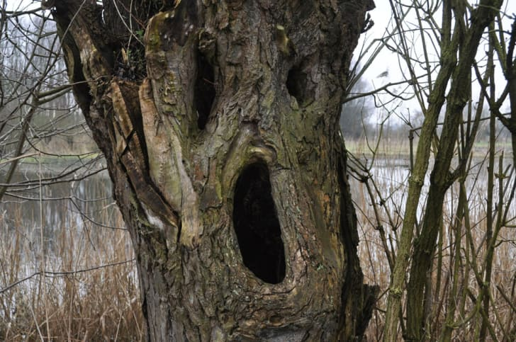 A tree trunk with 3 knotholes resembling two eyes and a mouth open in a scream.