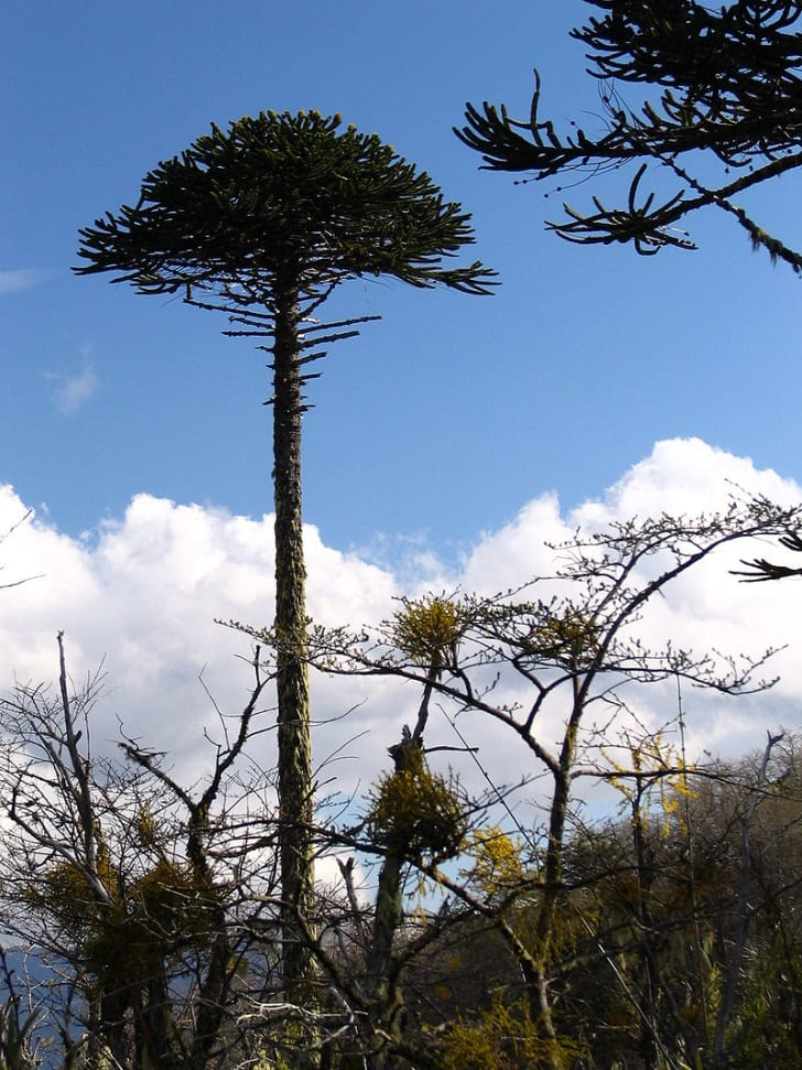 A tall tree with no branches or leaves on most of the trunk, only at the top - it resembles an umbrella. A blue sky with clouds is in the background.