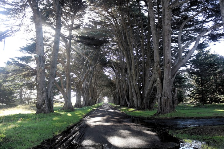 A tunnel formed by very tall Cypress trees with a paved road between the two rows.