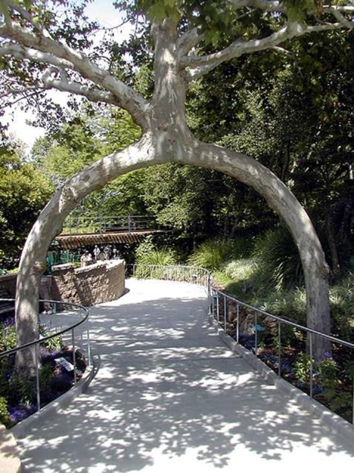 """The """"legs"""" of a tree span a sidewalk, creating a tunnel that can easily be walked under."""
