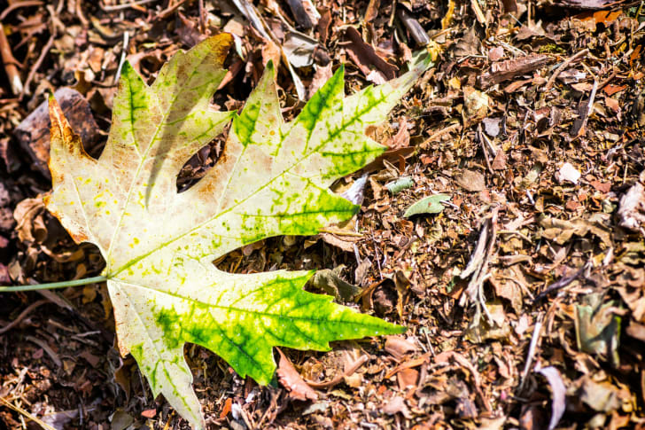 A maple leaf on a background of compost