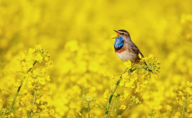A bluethroat sings in a field
