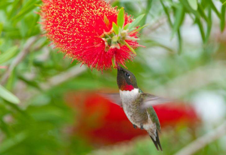 A ruby-throated hummingbird feeds on bottle brush