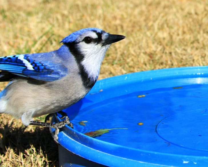 A blue jay arrives for a drink