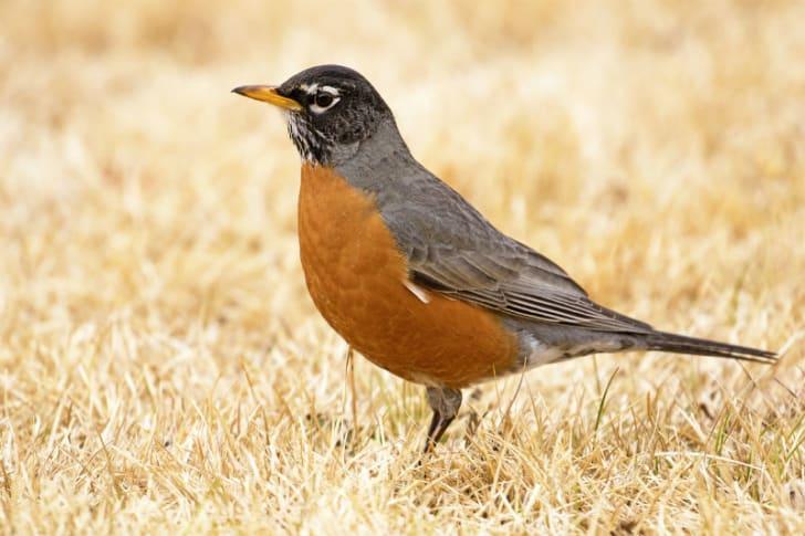 A robin stands in a field