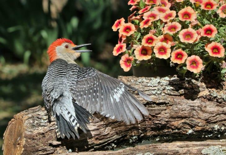 A red-bellied woodpecker spreads its wings
