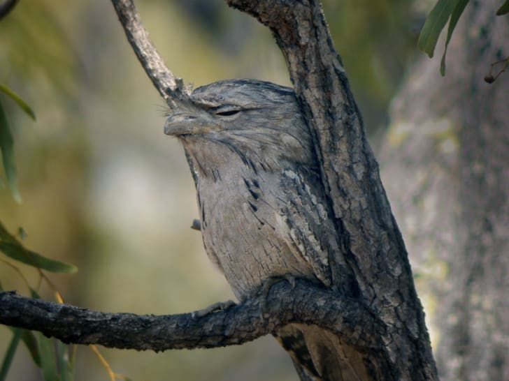 A papuan frogmouth naps in the trees