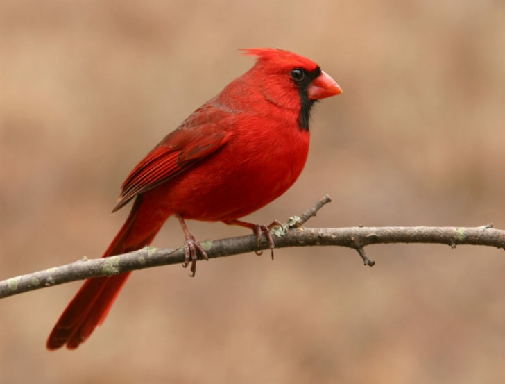 A northern cardinal sits on a branch
