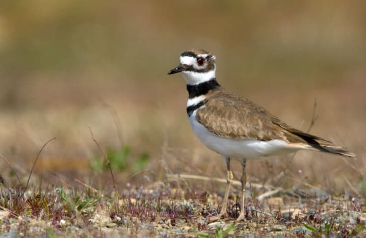 A killdeer stands in the middle of a field