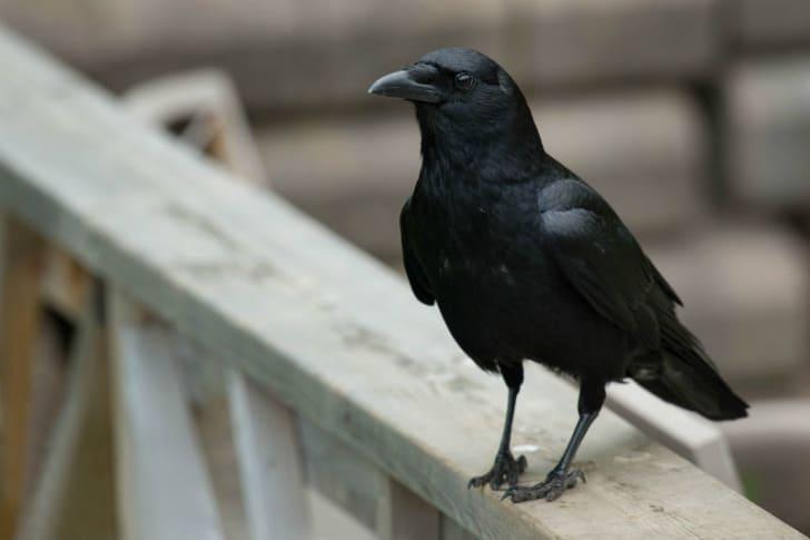 A crow sits on a porch railing