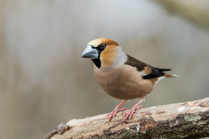 A male hawfinch sports a distinctive beak