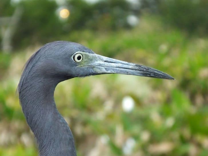 A little blue heron is seen in profile