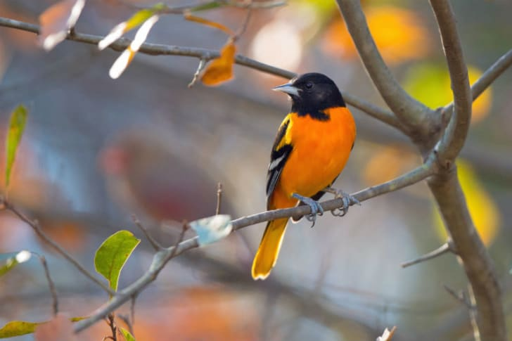 A Baltimore oriole is perched on a branch
