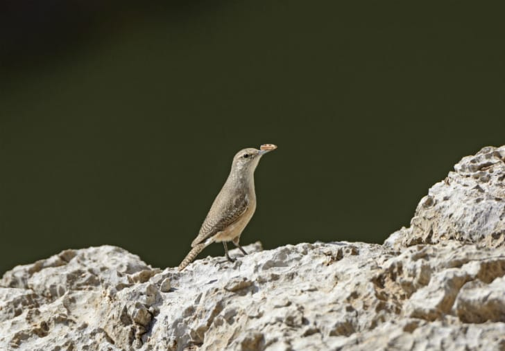 A canyon wren is seen in profile
