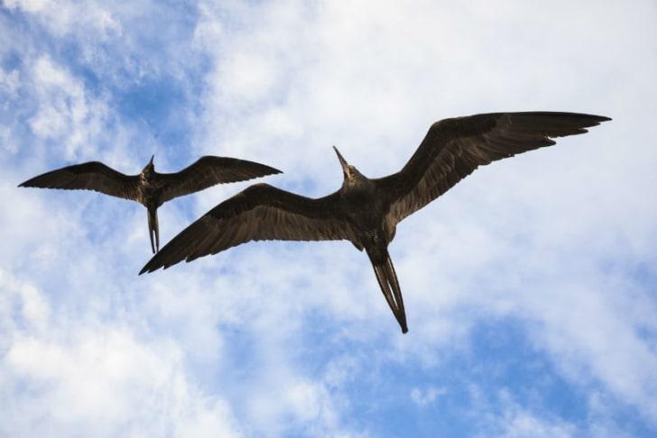 Frigatebirds fly through the air