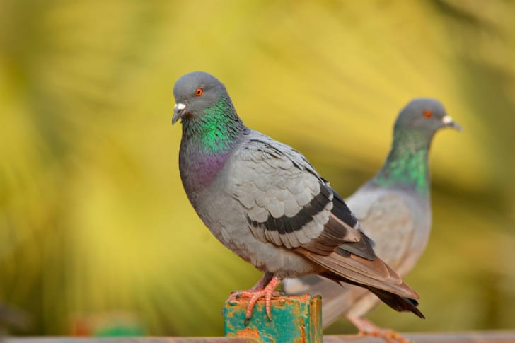 Two pigeons stand near one another