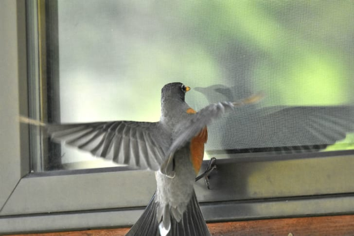 A robin attacks its own reflection