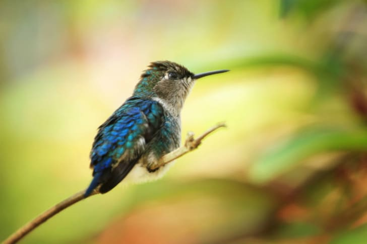 A bee hummingbird hovers in the air